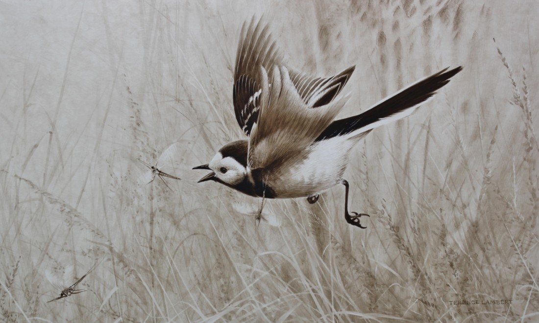 Pied Wagtail Image