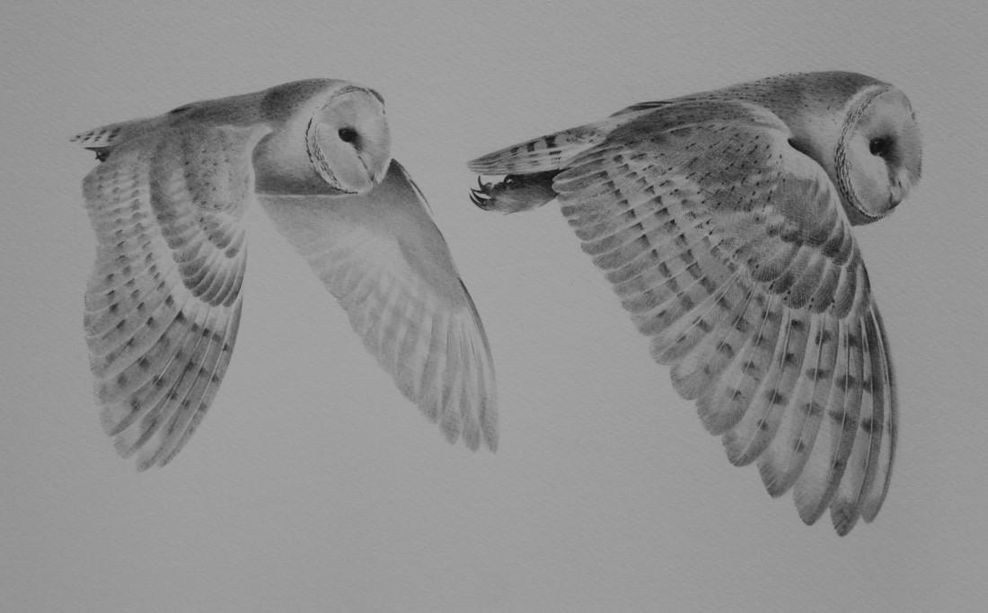 Barn owl study Image