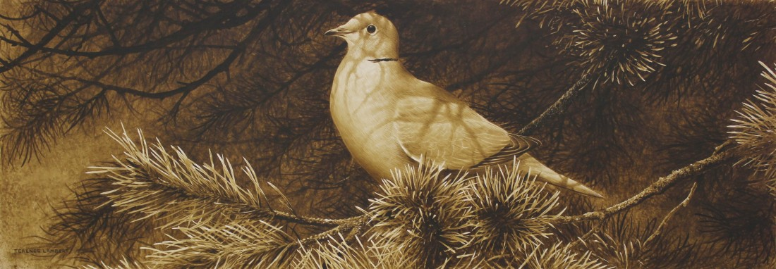 Collard dove Image