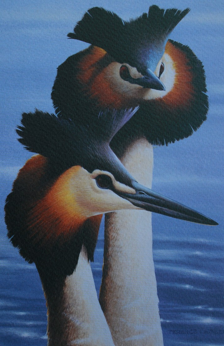 Great crested Grebes  Image