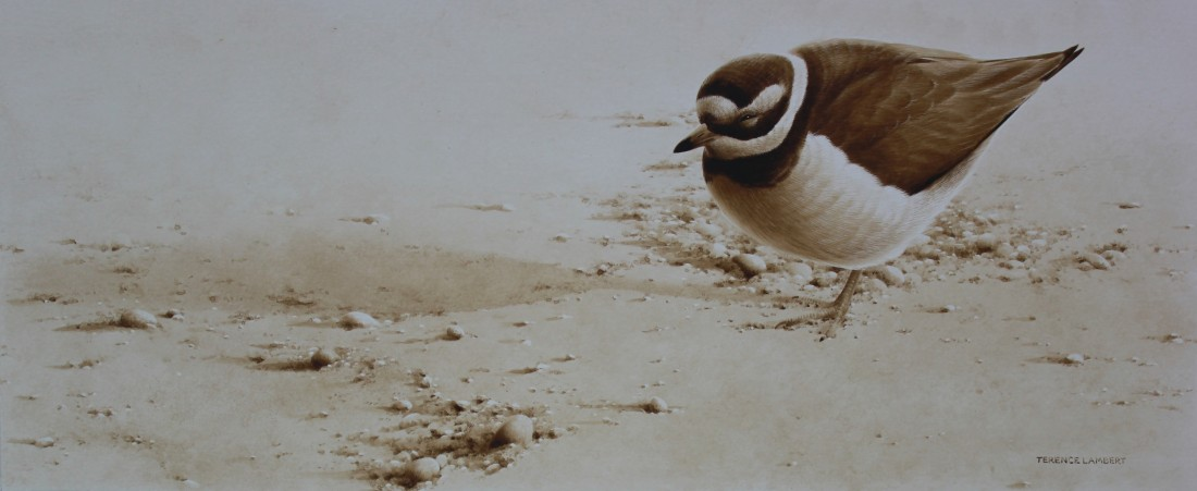 Ringed plover Image